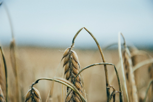 wilted grain infertility