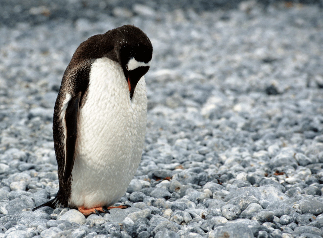 sad penguin alone looking down at feet