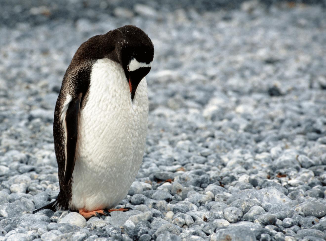 sad penguin alone looking down at feet