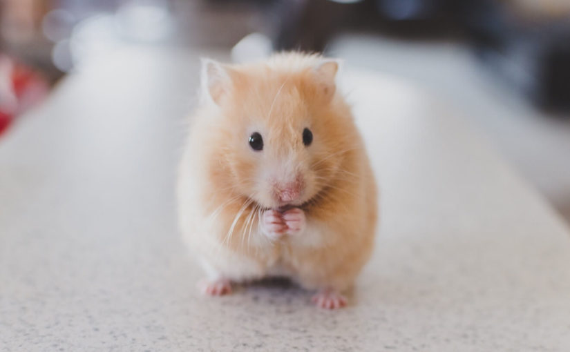 a hamster with its front paws together