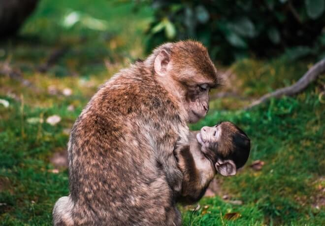 A mother monkey holds her baby lovingly