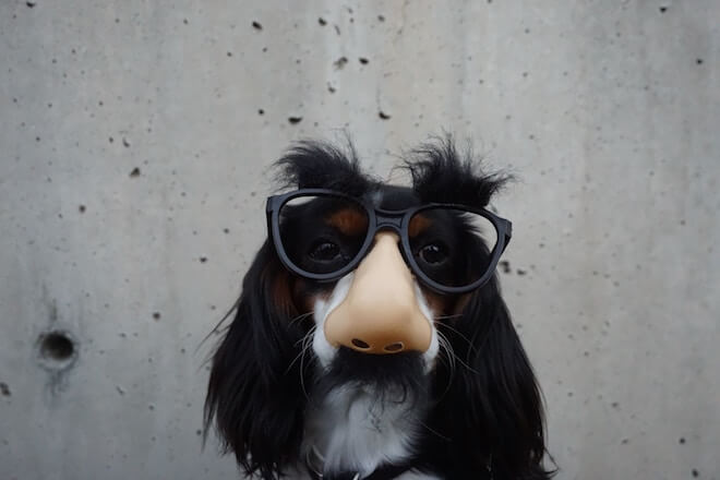 A dog wearing glasses with a fake nose