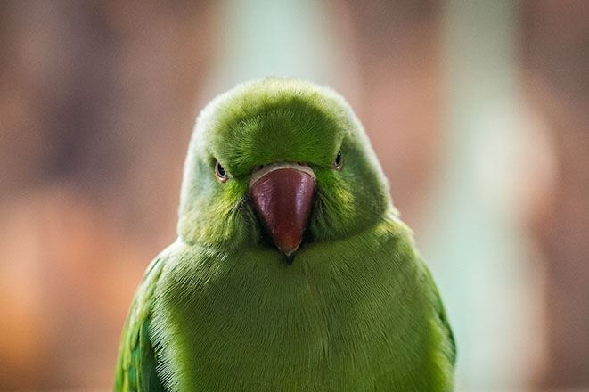 Angry parakeet