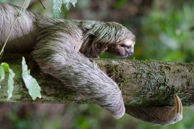 A sloth chillin' on a tree