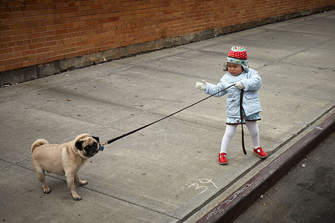 A small girl leads a pug into the street