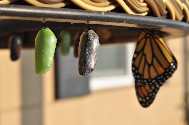 Butterflies in different metamorphic stages