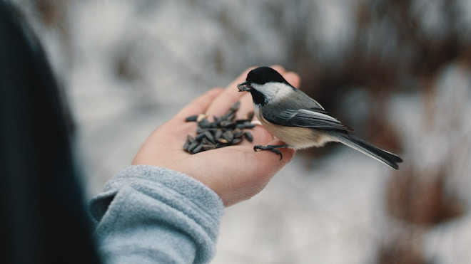 A bird, quite possibly a finch, eats from the hand of a man