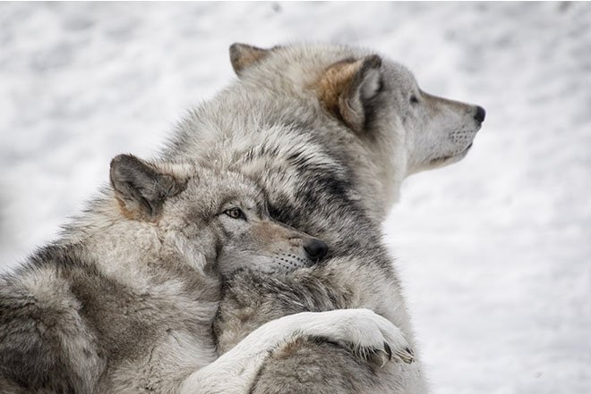 Wolf hugging another wolf