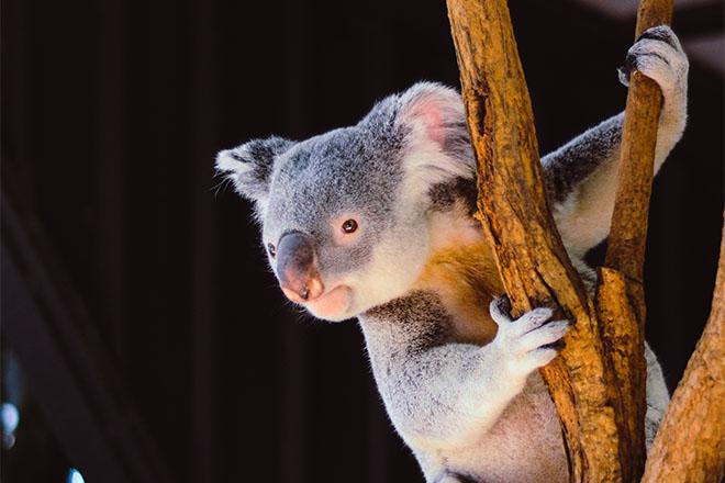 Koala hanging from tree