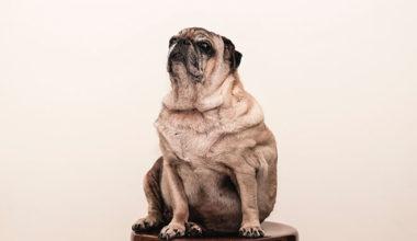 Large pug on a stool