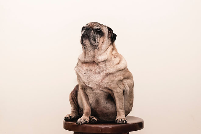 Large pug on a stool
